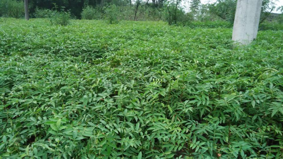 一亩土地栽椒苗好多棵?