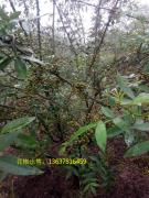 9月花椒种椒出售,江津花椒价格多少?
