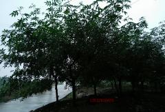椒之乡,江津九叶青之乡,椒的前景-椒网站