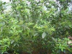 椒子树苗栽种-九叶青椒苗
