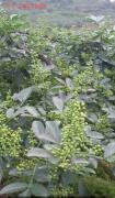 山西运城能栽九叶青花椒吗?哪些地方适合?