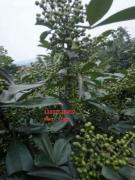 青花椒多少钱一斤?重庆哪里有优质花椒/苗啊?