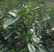 保鲜花椒采收6月1日,干花椒6月10日产量将增产