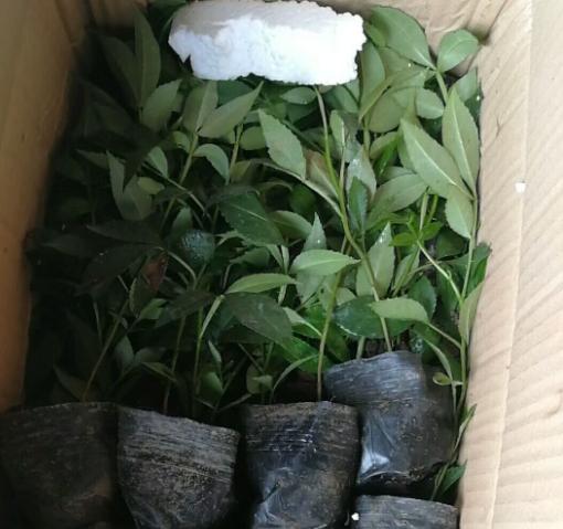 5月25江津花椒出来了,重庆九叶青花椒苗供应