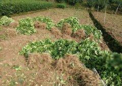 一亩地需要多少花椒苗?成本和效益?80公分花椒苗