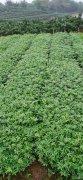 0.3公厘以上九叶青花椒苗价格?湖北可以种吗?