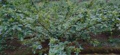 影响九叶青花椒花芽分化期原因和防控途径