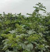 九叶青花椒1年栽种2年结果3年丰产