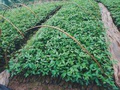 九叶青花椒可以在山东种嘛?7月花椒苗管理