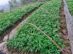贵州花椒只开花不结果原因及怎么办呢?