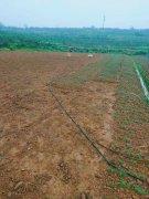 【栽培技术】种九叶青花椒,整理地