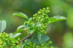 怎么样种花椒苗?怎么栽花椒树苗成活率高?