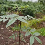 花椒好种植吗?花椒的习性管理才能有好的收获