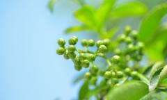 早熟九叶青花椒的特点有哪些?江津九叶青花椒